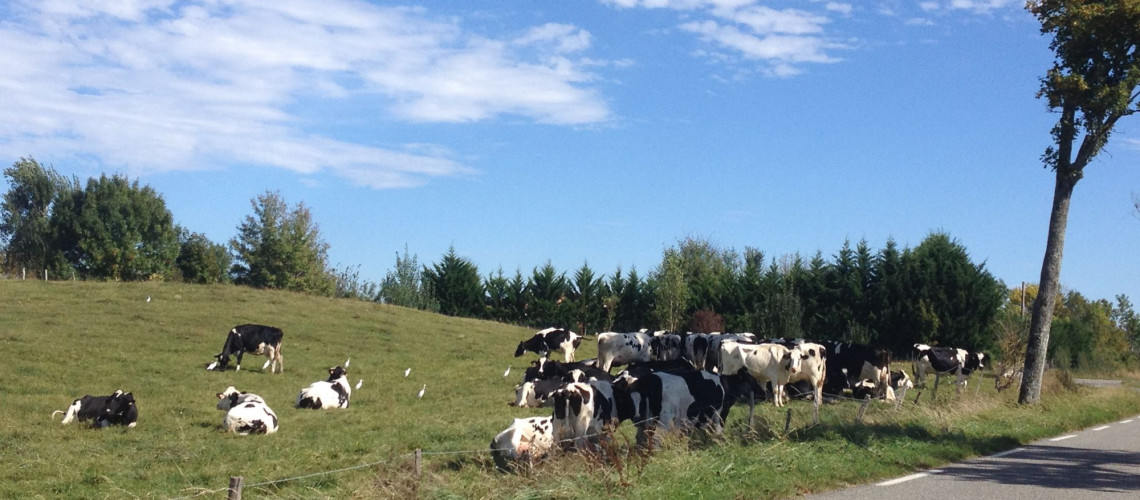 paysage vaches (1)